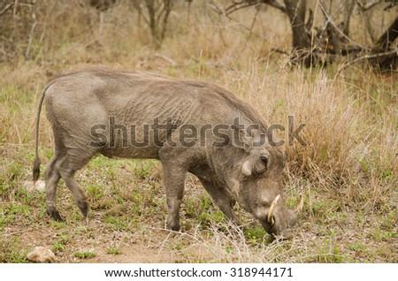 warthog eating grass, grazing - stock photo