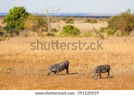 Warthog eating grass in dry Kruger National Park, South Africa
