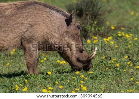 Warthog feeding on green pasture with yelloe buttercup flowers in South Africa