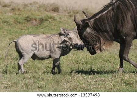 Warthog fighting with the Wildebeest. Ngorongoro Crater. Tanzania - stock photo