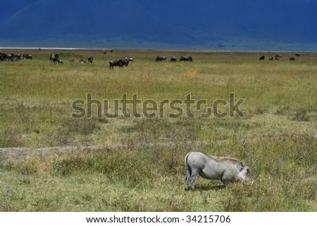 warthog in ngorongoro crater in tanzania, africa - stock photo