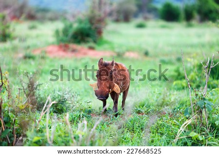 Warthog in Tarangire national park in Tanzania - stock photo