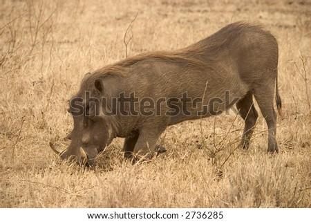 warthog living in the serengeti national park, tanzania - africa - stock photo
