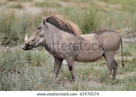 Warthog male, Serengeti National Park, Tanzania, East Africa - stock photo