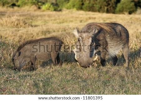 Warthog mother from Africa with it's offspring - stock photo