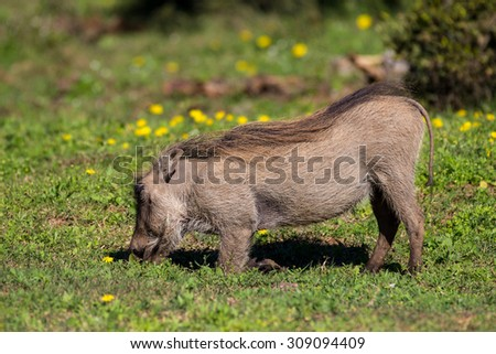 Warthog on knees feeding on buttercups in South Africa