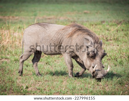 Warthog on the savanna in Tanzania, Africa.
