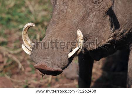 Warthog or Common Warthog nose and teeth (Phacochoerus africanus) is a wild member of the pig family that lives in grassland, savanna, and woodland in Sub-Saharan Africa - stock photo