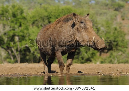 Warthog (Phacochoerus aethiopicus) . Young boar cautiously approaches waterhole - stock photo
