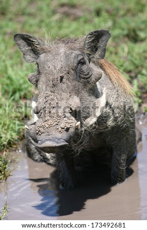 Warthog (Phacochoerus africanus) - stock photo
