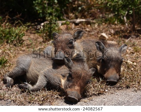 Warthog piglets resting next to the road. - stock photo