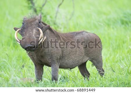 Warthog standing in grass - stock photo