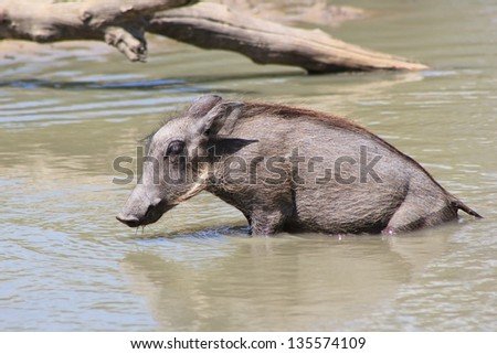 Warthog - Wildlife from Africa - A Piglet takes a shallow swim in order to cool off after a long hard day of foraging. - stock photo