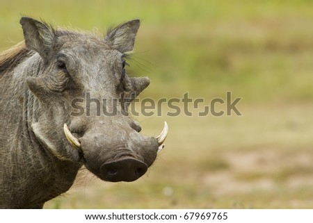 Warthog with copy space - stock photo