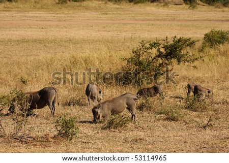 Warthogs in Sabi Sand Game Reserve, South Africa