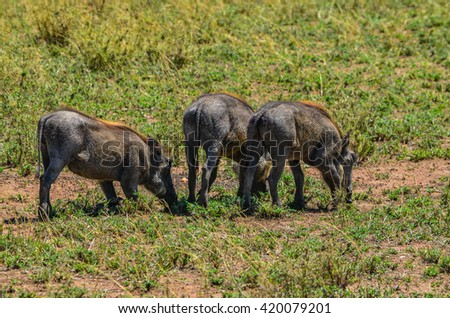 Warthogs in Serengeti national park Tanzania
