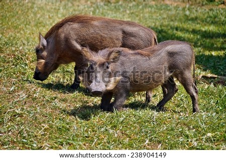 Warthogs in the grass of Uganda - stock photo