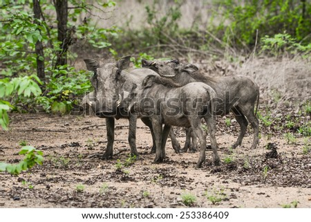 Warthogs in the wilderness  - stock photo
