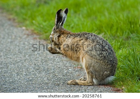 washing hare - stock photo