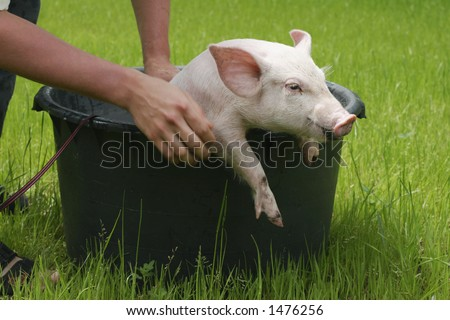 washing pig#2 - stock photo