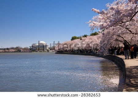 WASHINGTON, DC - APRIL 4: Blooming cherry trees on the banks of the Tidal basin April 4, 2008 in Washington, DC. The blooming cherry can last up to 14 days. - stock photo