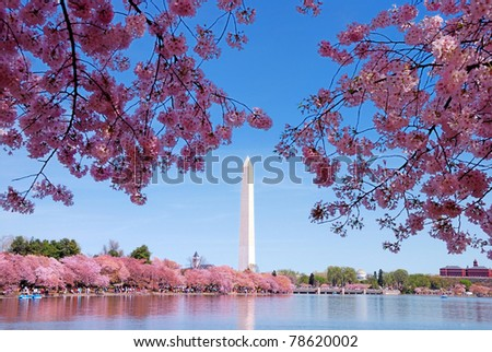 Washington DC cherry blossom with lake and Washington Monument. - stock photo