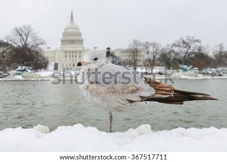 Washington DC in snow - A seagull in front of the reflection pool of US Capitol Building - stock photo