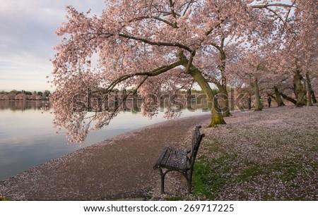 Washington DC Tidal Basin Cherry Trees - stock photo
