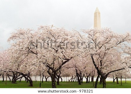 Washington Monument and Cherry Blossoms on the National Mall, Washington, DC - stock photo