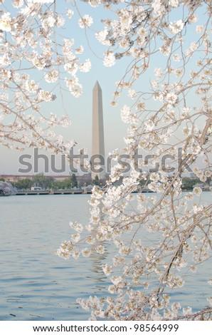 Washington Monument during Cherry Blossom Festival in spring. Washington DC United States - stock photo