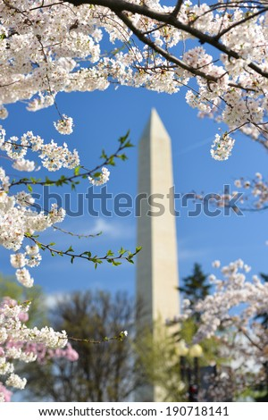 Washington Monument during Cherry Blossom Festival in Washington DC, USA