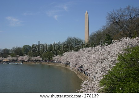 washington monument from tidal basin (with blossoms) during annual cherry blossom festival. washington, dc. nice blue sky. - stock photo