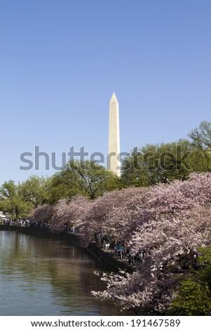 Washington Monument in Washington D.C. with cherry blossoms  - stock photo