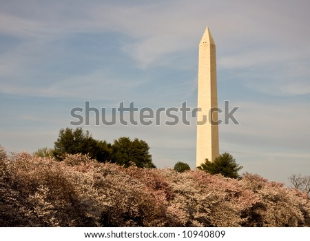 Washington Monument towering over Cherry Blossoms - stock photo