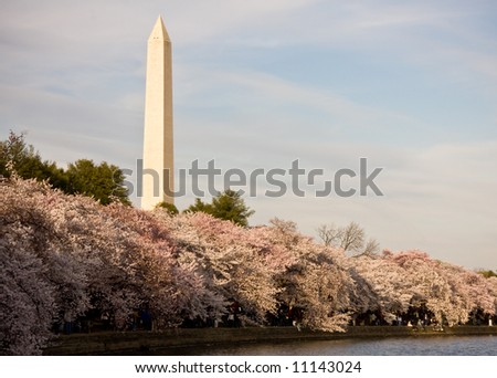 Washington Monument with a layer of cherry blossom flowers at the base and reflection in Tidal Basin