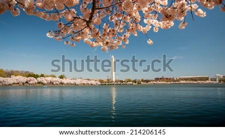 Washington Monument with Cherry Blossom Scene - stock photo