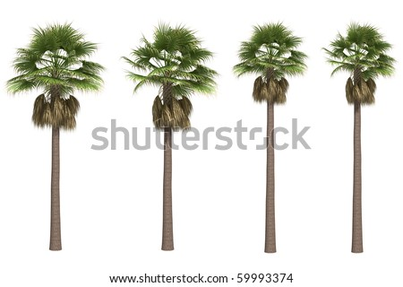 Washingtonia or California palms isolated on white