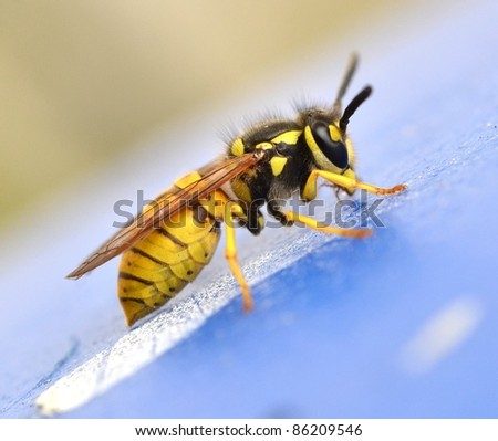 Yellow Jacket Insect Stock Images, Royalty-Free Images & Vectors ...