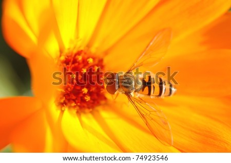 Wasp bee on the calendulae flower