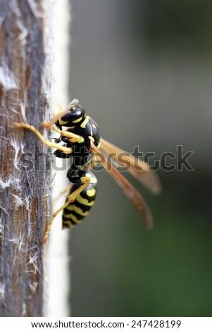 wasp close up - stock photo