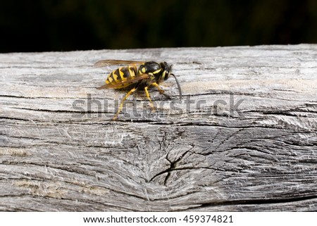 wasp collects nesting material (head right) - stock photo