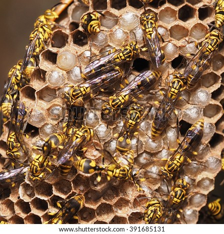 Wasp Comb, Wasp Nest, Yellow Wasp and Embryo, The zygote or The larvae