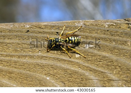 Wasp Crawling On a brown Wooden texture outside - stock photo