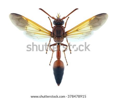 Wasp Delta dimidiatipenne (female) on a white background - stock photo