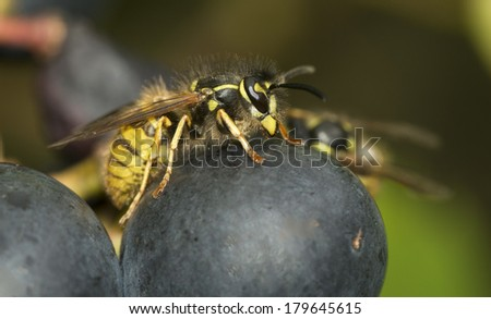 wasp looking for food in grapes - stock photo