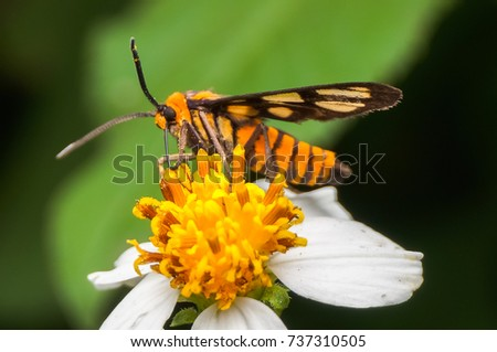 wasp moth sucking nectar on flower