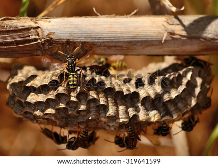 Wasp nest under cane stalk - stock photo
