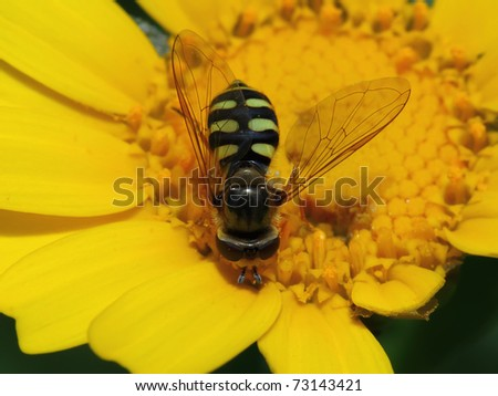 wasp of the garden on a yellow wild flower - stock photo
