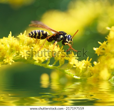 wasp of the garden on a yellow wild flower and water reflection, macro, selective focus  - stock photo