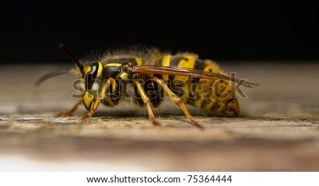 wasp on a wooden plank macro shot - stock photo